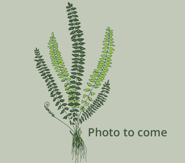 Fern photo to come