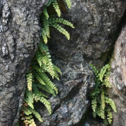Asplenium trichomanes-ramosum (viride)
