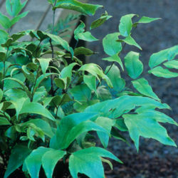 Cyrtomium macrophyllum