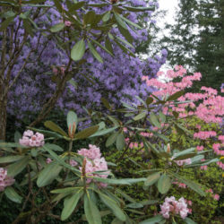 Rhododendron Species Botanical Garden