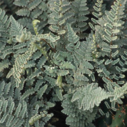 Cheilanthes eatonii
