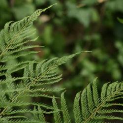 Polystichum setiferum 'Plumoso Bevis'