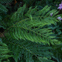 Polystichum setiferum 'Plumoso Bevis' sporling, Veronica Cross
