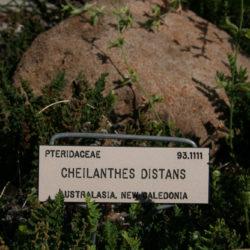 Cheilanthes distans