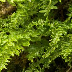 Polypodium glycyrrhiza 'Green Garland'