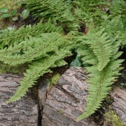 Polystichum setiferum (Plumosmultilobum Group)