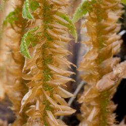 Polystichum neolobatum