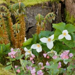 Polystichum neolobatum, Trillium ovatum, Pulmonaria officalis 'Rosea'
