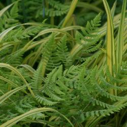 Gymnocarpium disjunctum, Hakonechloa macra 'Aureola'