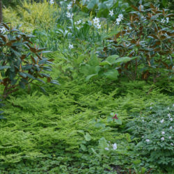 Gymnocarpium disjunctum, Rhododendron campanulatum ssp, aeruginosum