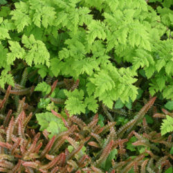 Gymnocarpium dryopteris 'Plumosum, Austroblechnum penna-marina'