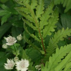 Onoclea sensibilis, Astrantia major