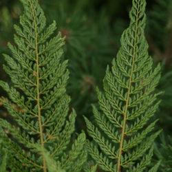 Polystichum setiferum (Bevis Group)