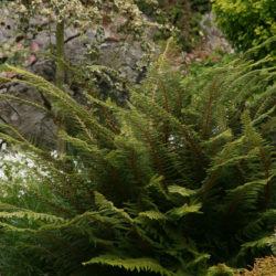 Polystichum setiferum (Divisilobum Group)