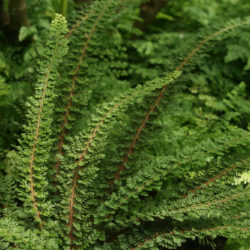 Polystichum setiferum 'Ray Smith'