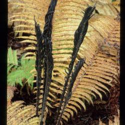 Matteuccia struthiopteris