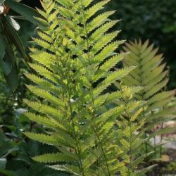 Woodwardia virginica