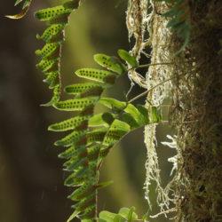 Polypodium glycyrrhiza sori