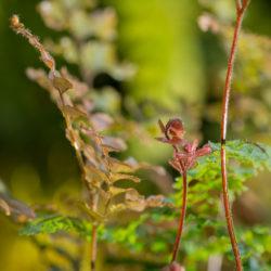 Adiantum hispidulum rosy new frond
