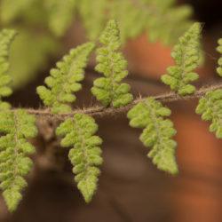 Cheilanthes lanosa