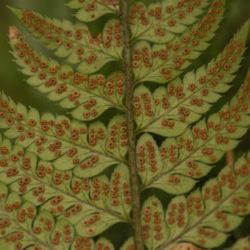 Polystichum tsus-simense 'K Rex' sori