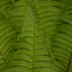 Matteuccia struthiopteris young frond