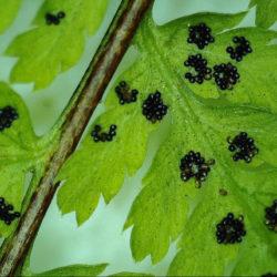 Dryopteris expansa var. willeana sori