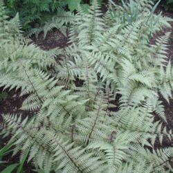 Rotary Botanical Gardens Athyrium hybrida 'Ghost'
