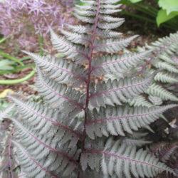 Rotary Botanical Gardens Athyrium niponicum 'Pewter Lace'